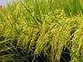 p30_Rice.jpg