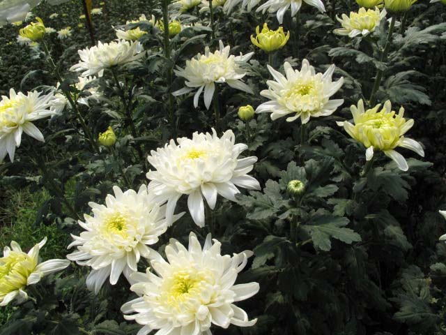 p20110506chrysanthemum-01.jpg