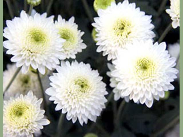 p20110506chrysanthemum-04.jpg