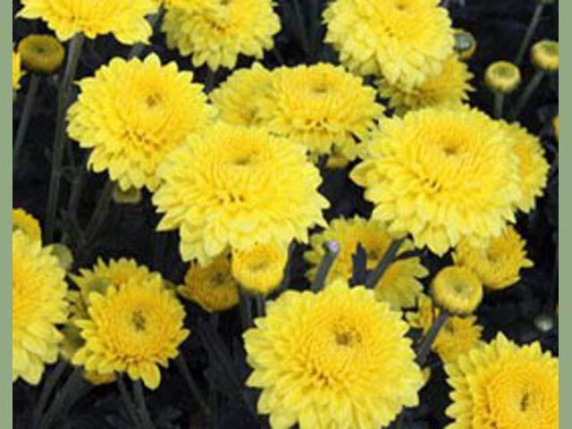 p20110506chrysanthemum-05.jpg