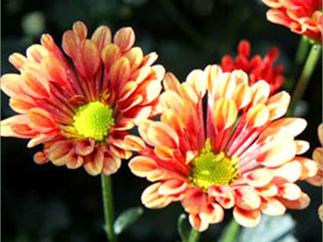 p20110506chrysanthemum-06.jpg