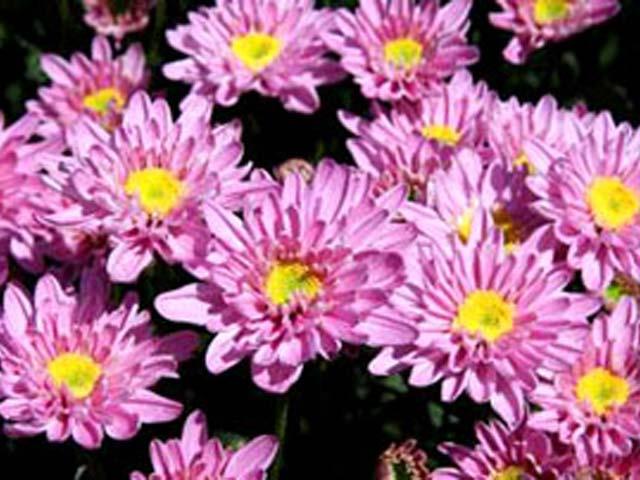 p20110506chrysanthemum-07.jpg