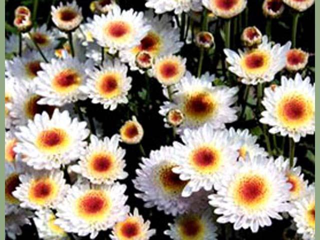 p20110506chrysanthemum-08.jpg