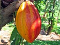 p10_cocoa.jpg