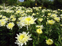 p20_Chrysanthemum.jpg