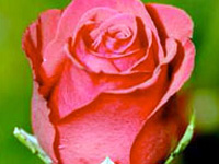 p20_rose.jpg